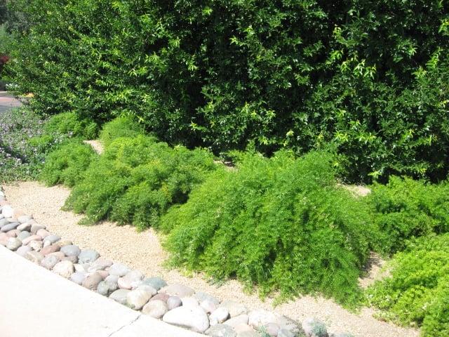 Asparagus Ferns