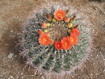 GV Gardeners: Intense barrel cactus flowers enhance desert