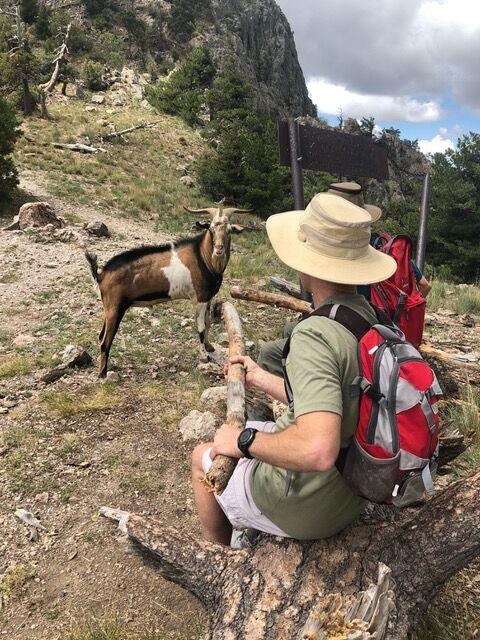 Goat versus branch