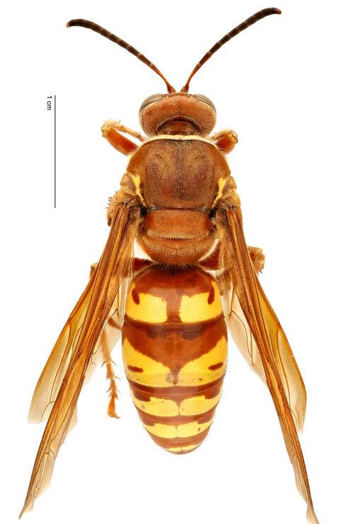CicadaKillerV4
