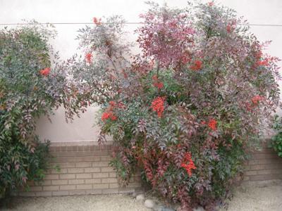 GV Gardeners: Holiday berries to decorate the desert