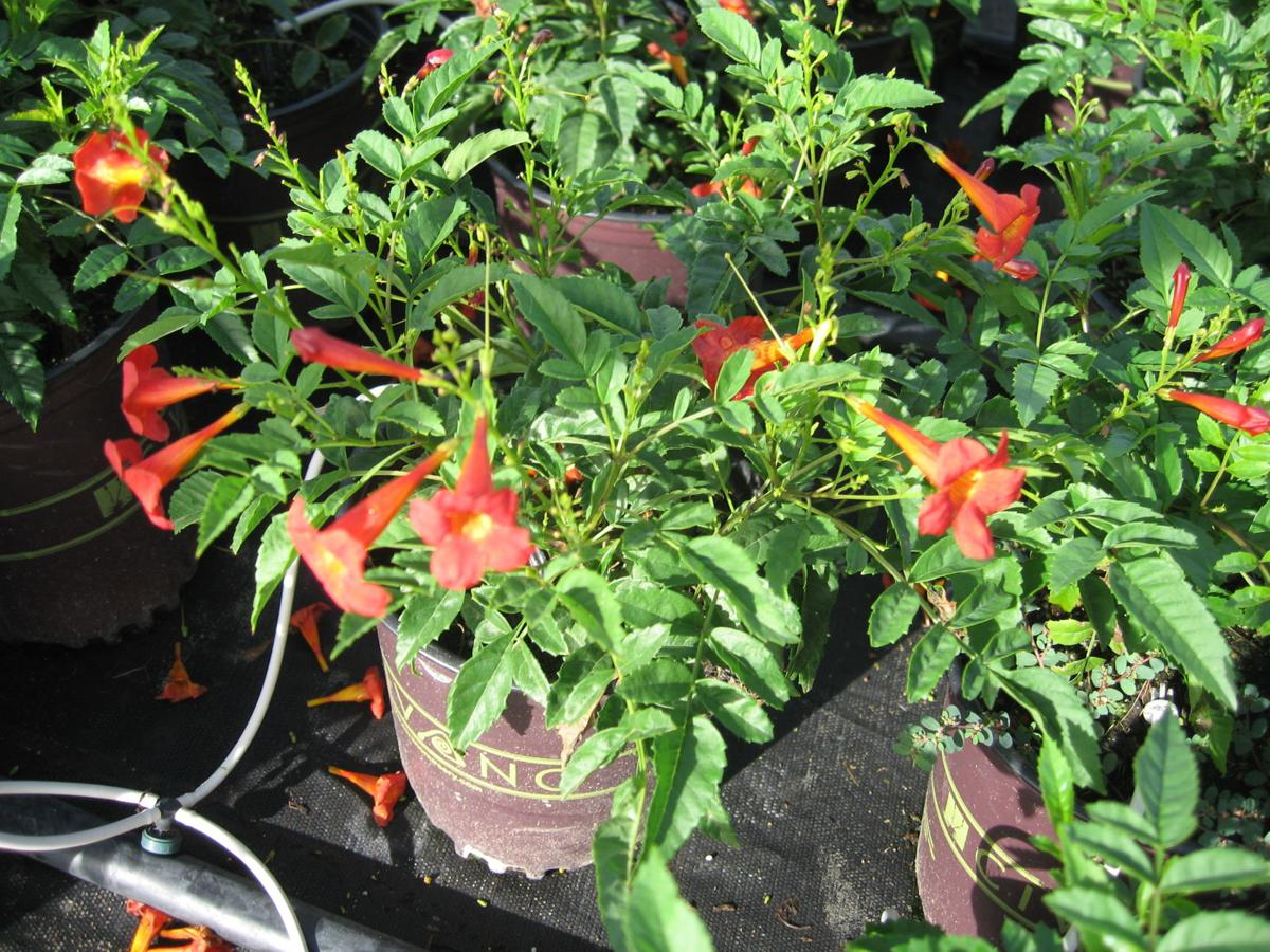 GV Gardeners: Check out red hot plant picks