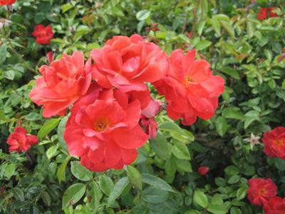 GV Gardeners: Celebrating official national flower in June