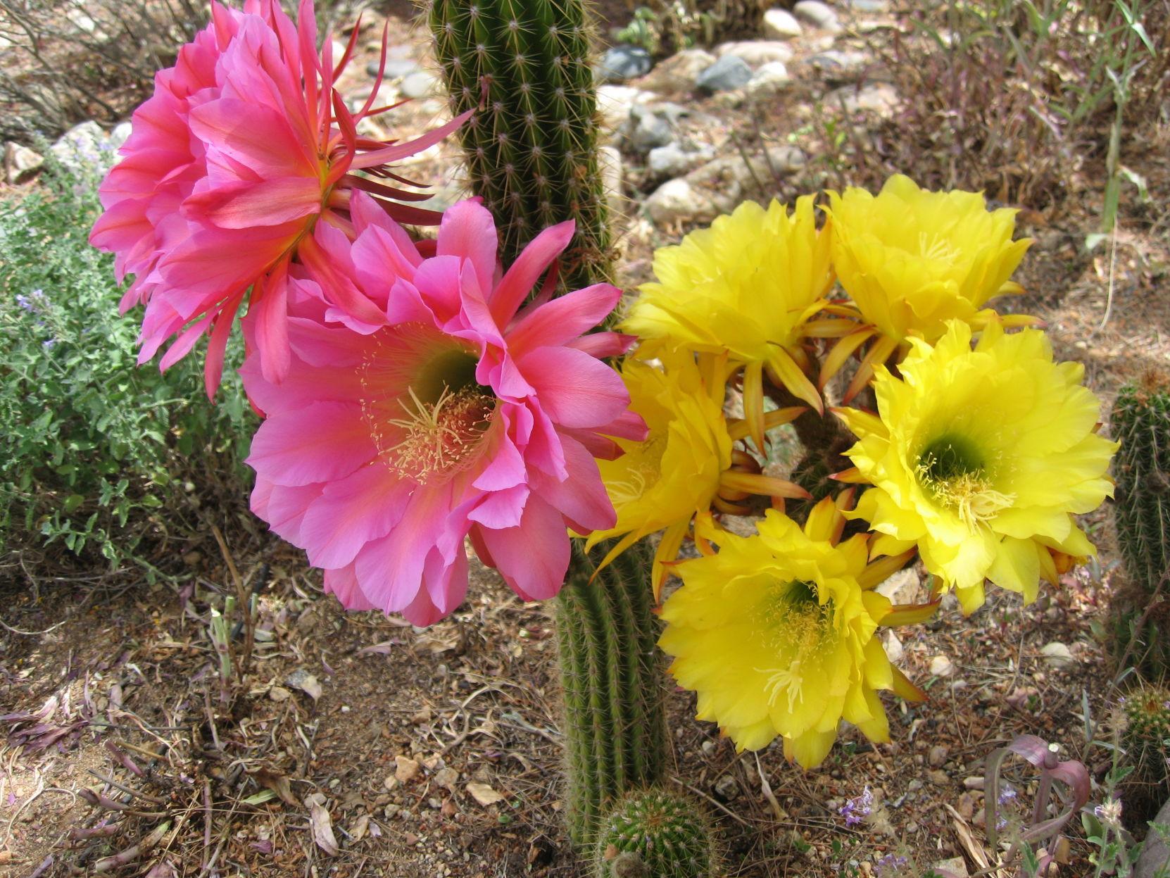 GV Gardeners: Return of colorful Torch Cactus