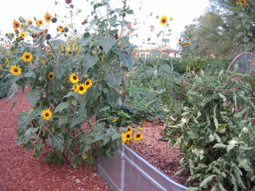 GV Gardeners: Seasonal sunflowers brighten autumn landscape