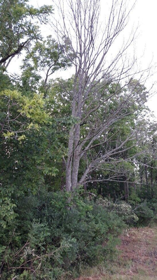 Dead Ash Tree