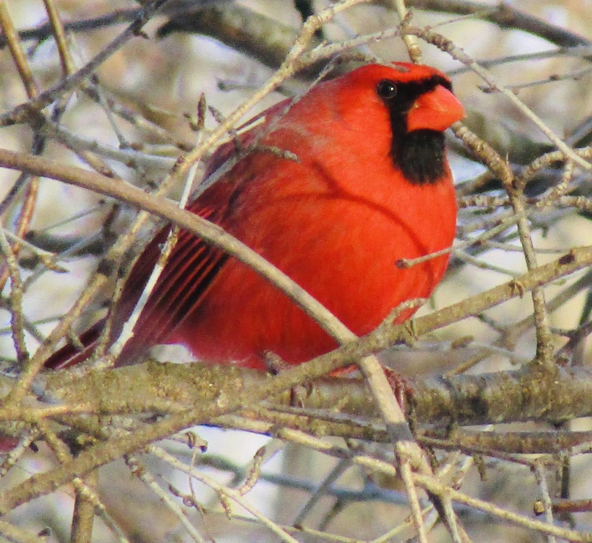 Mendon Ponds Cardinal
