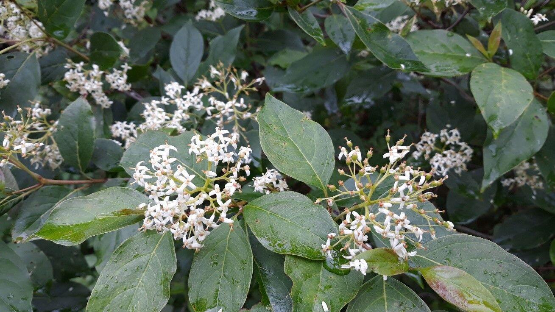 Red Twig Dogwood Flowers