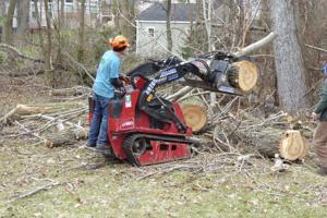 poplar removal