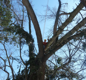 Tree Trimming - Old Skool Tree Care LLC