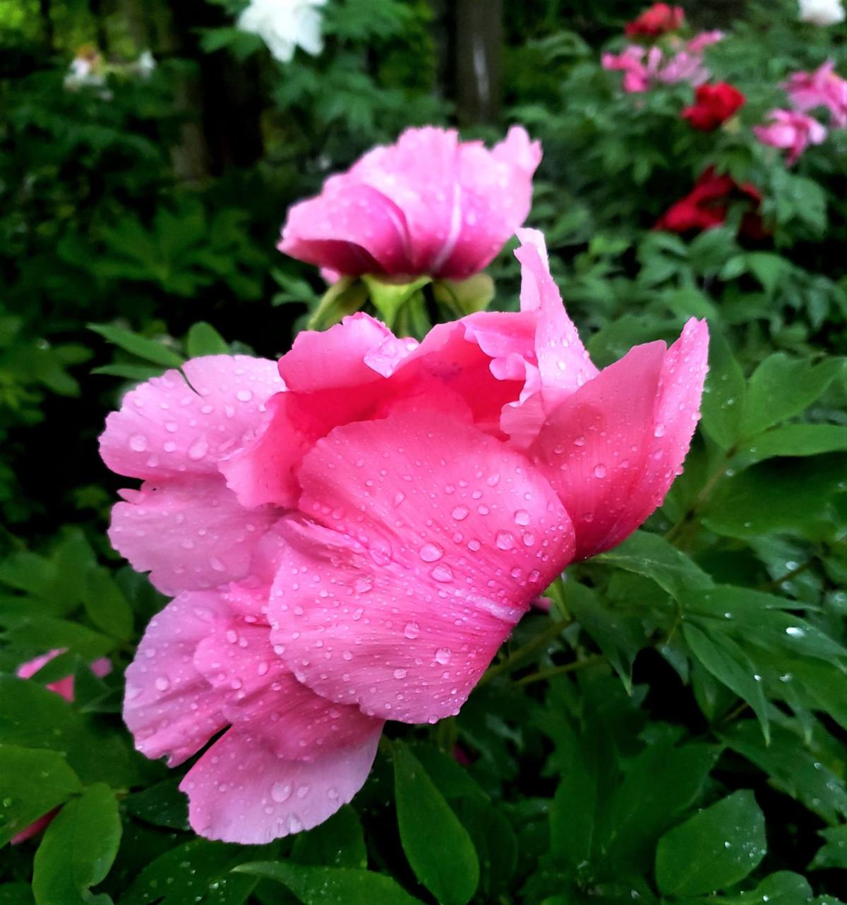 Raindrops on Pink Blossoms