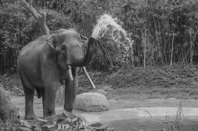 Elephant Generic B & W