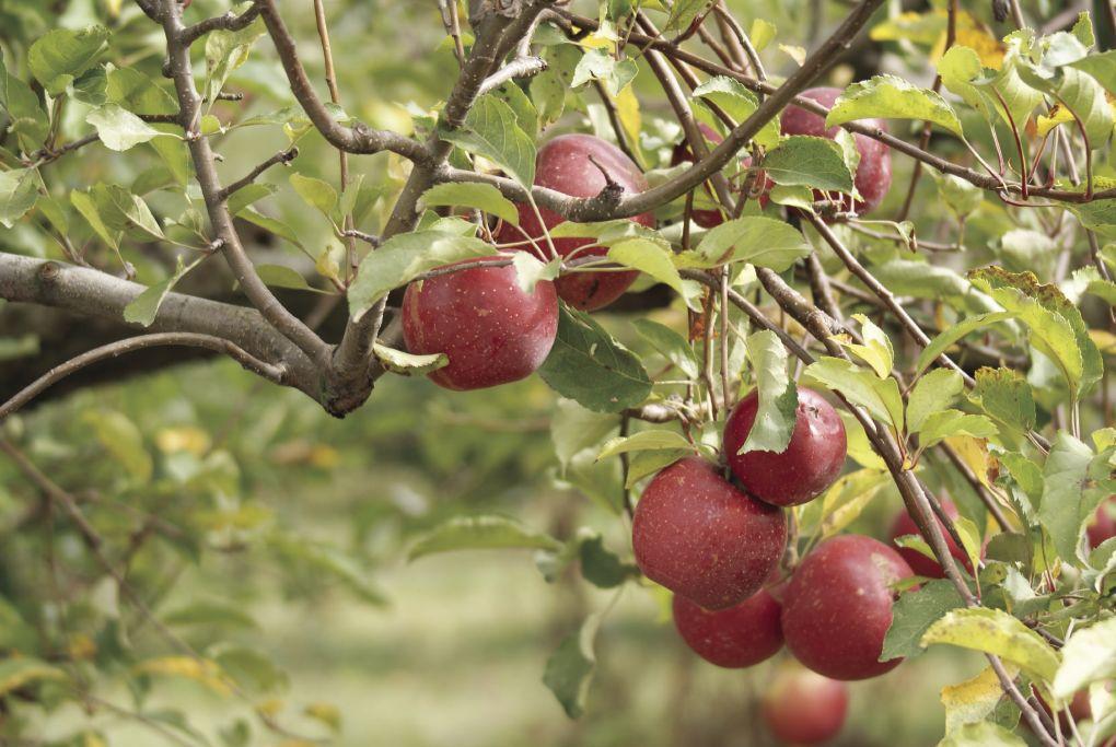 Apple Orchard Tree Generic.TIF