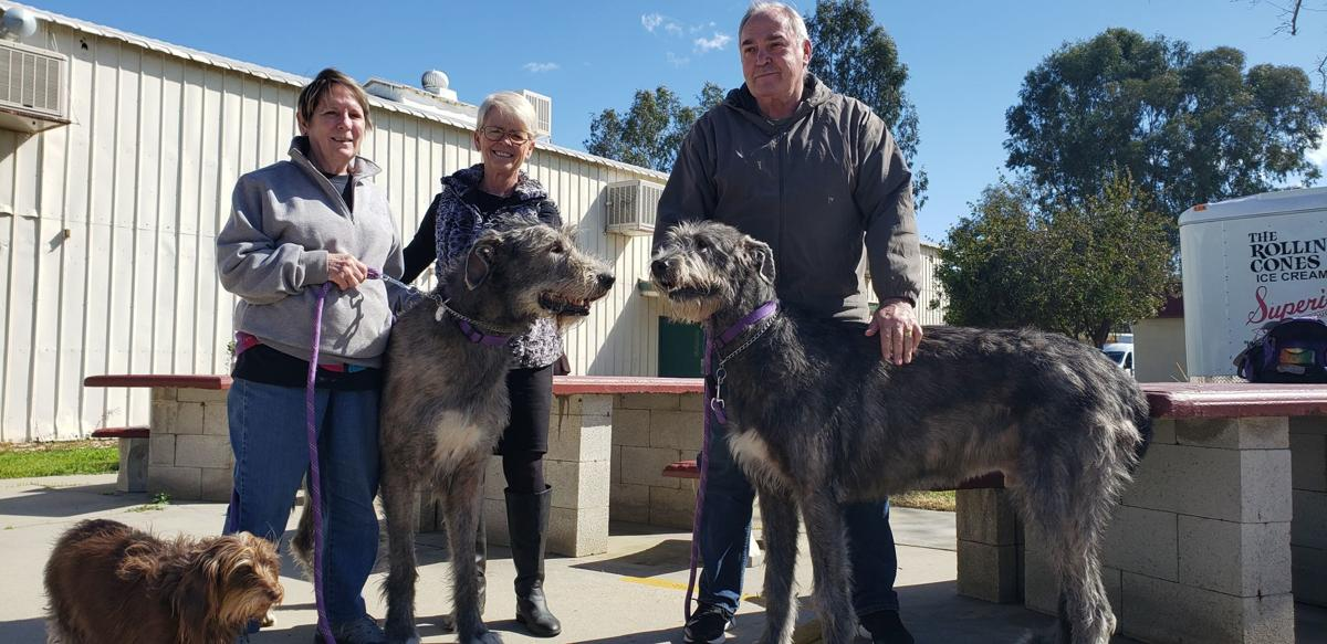 Dog Show 2019 wolfhounds.jpg