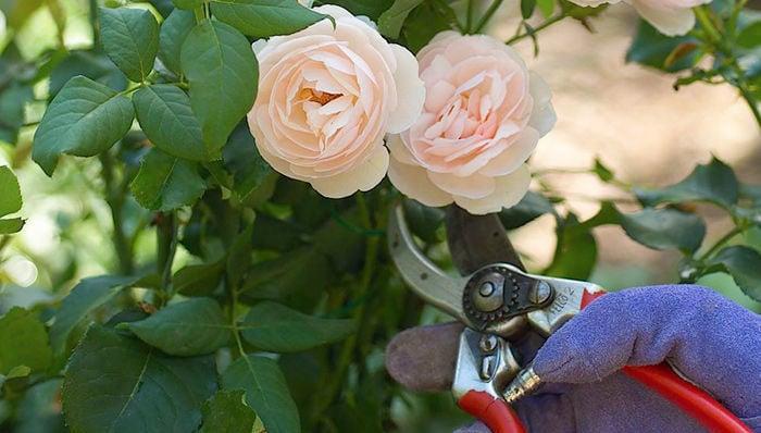 Master Gardener: Why Do We Prune Roses?