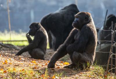 Virus Outbreak Gorillas