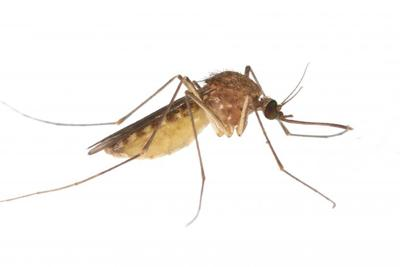 West Nile: Mosquitos found