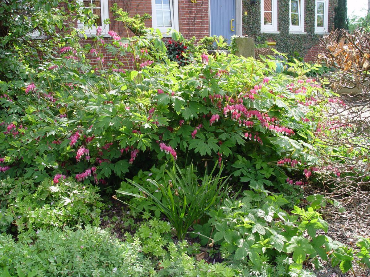 Bleeding heart an ideal native for your perennial garden