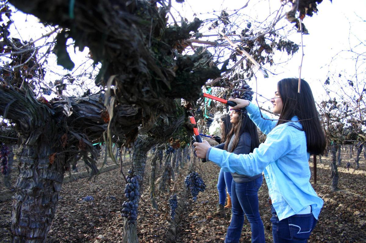 Vine pruning 2