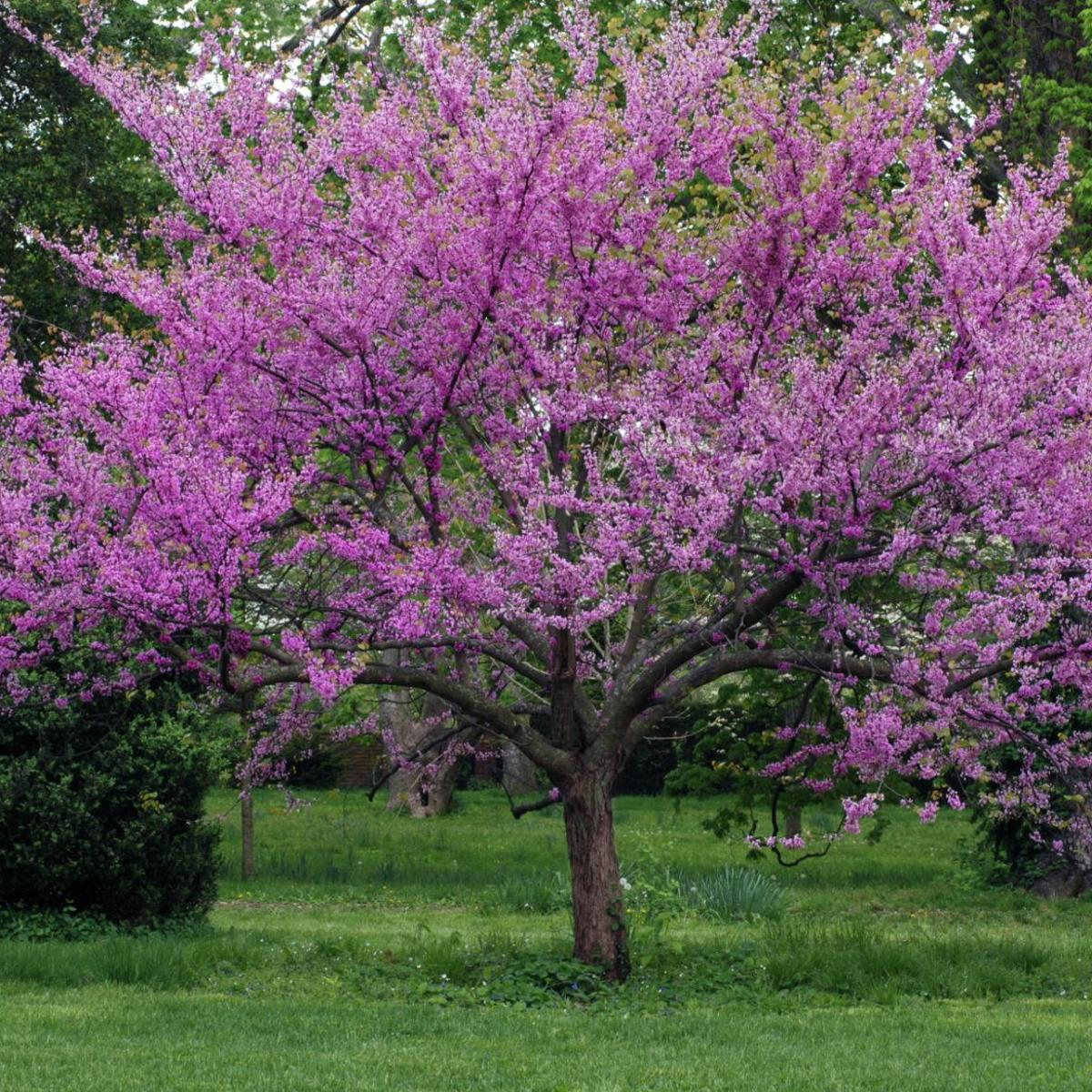 The Colorful Redbud Tree Features Hanfordsentinel Com