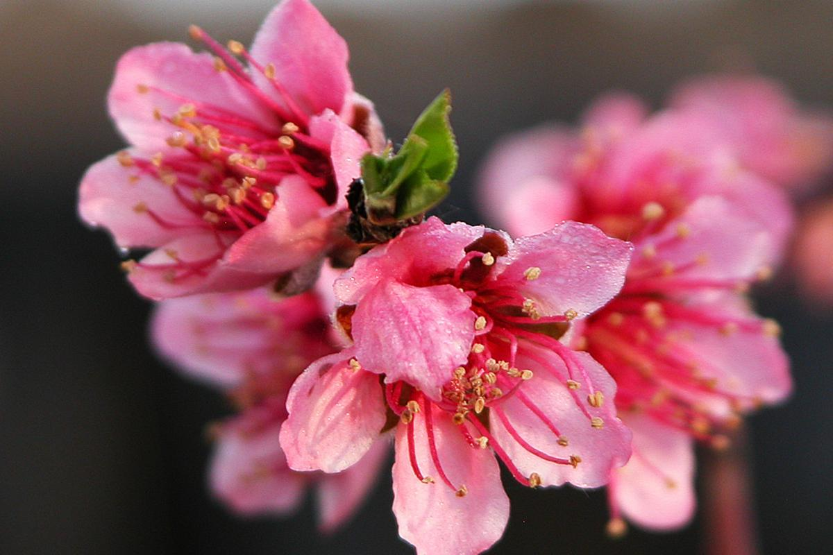 Blossom Trail: 1 peach blossoms