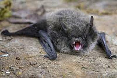 Health officials warn: Rabid bats