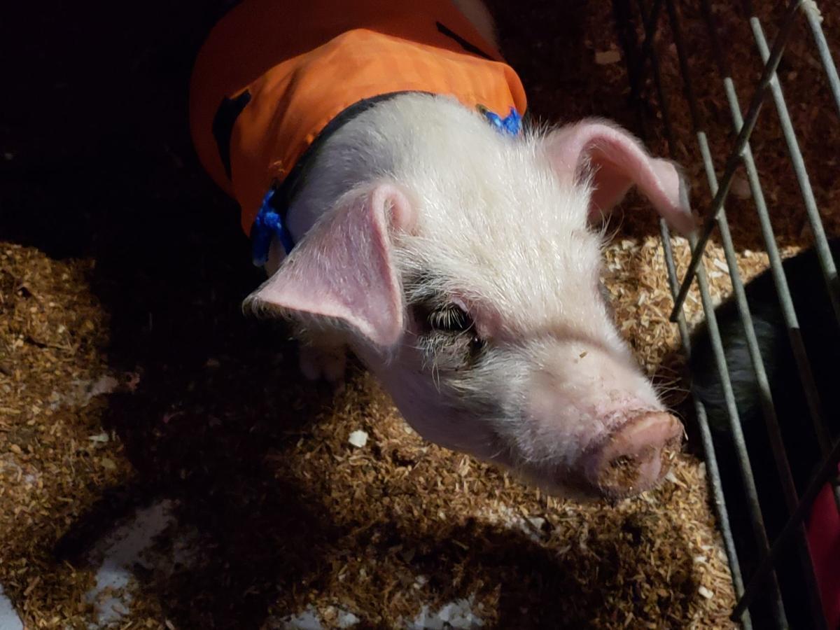 Kings Fair 2018 pig