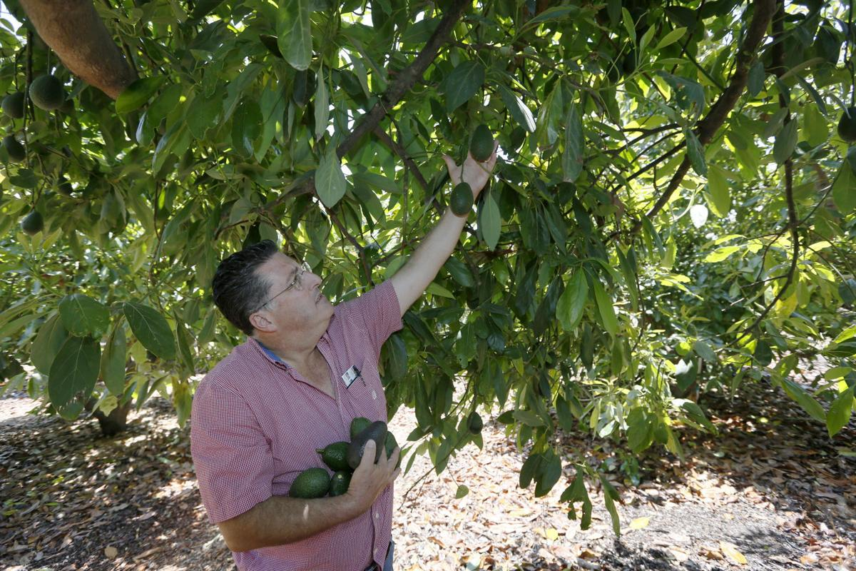 growing avocados in the san joaquin valley features