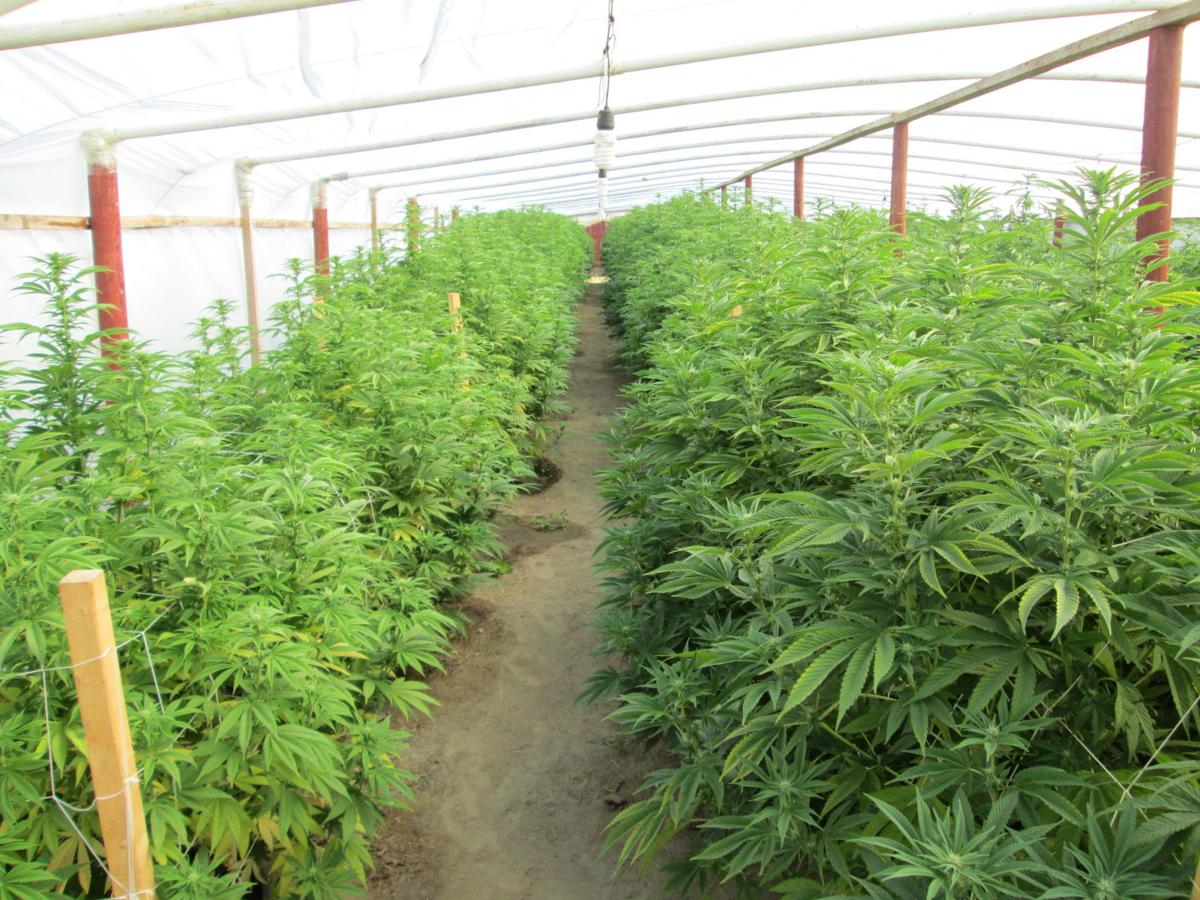 marijuana grow 1