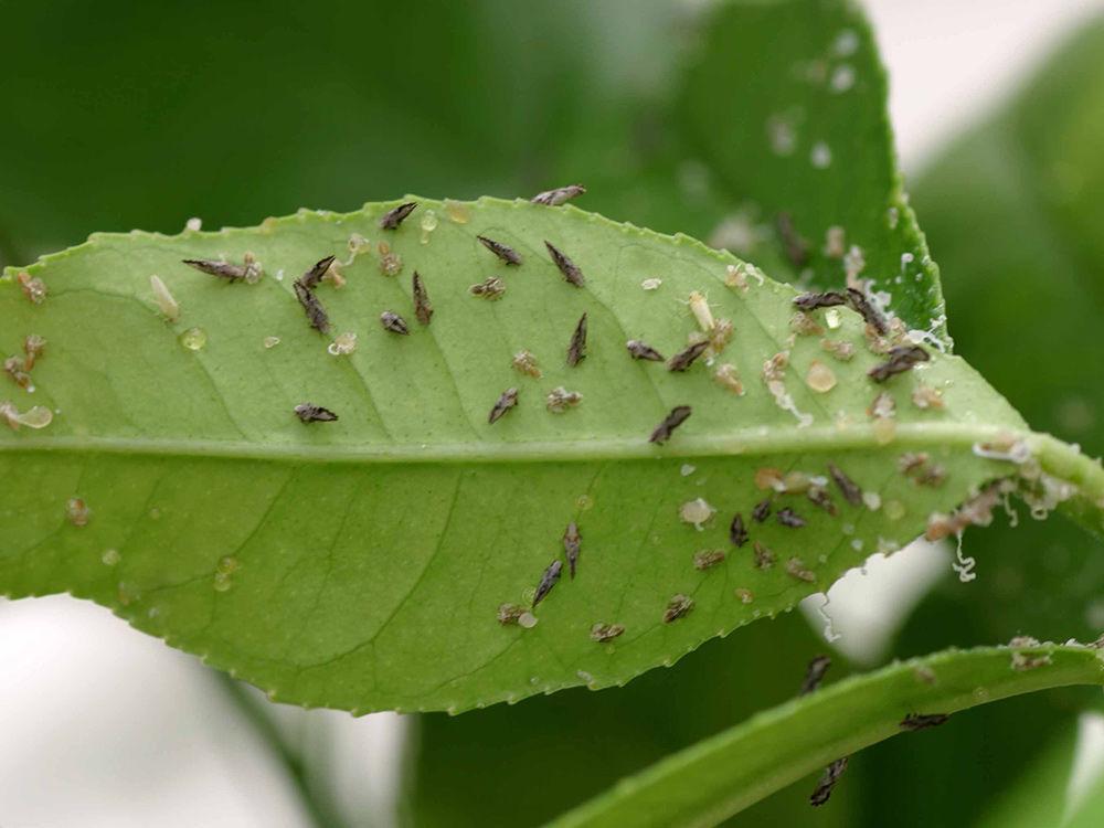Pest: Adult Asian citrus psyllids