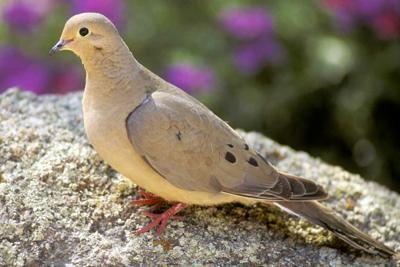 Dove hunting: Season starts