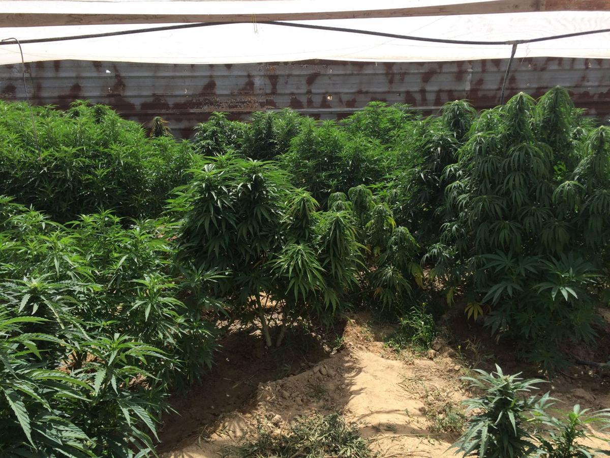 Narcotic Task Force marijuana grow