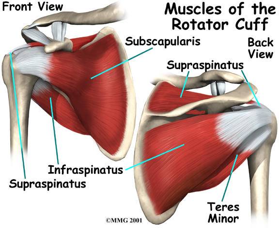 Key Shoulder Muscles And The Rotator Cuff Columnists