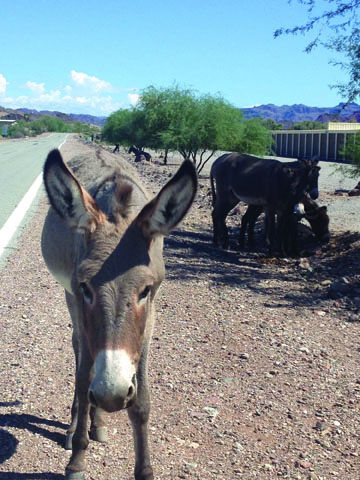 Mohave County Supervisor Proposes Burro Hunting Local