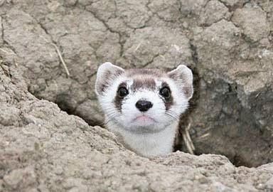 black footed ferret