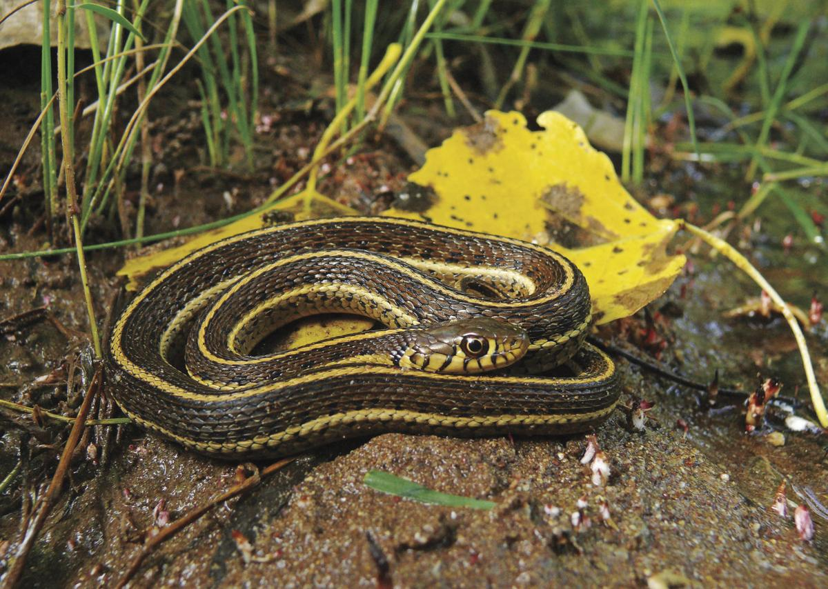 Northern Mexican garter snake