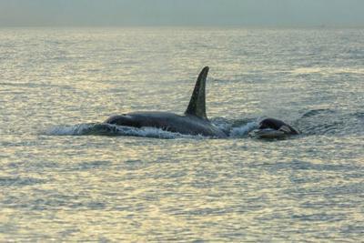 US-NEWS-ENV-ORCAS-MCT