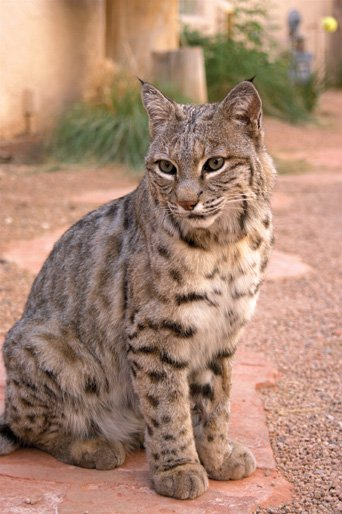 Drought Driving Bobcats Into City