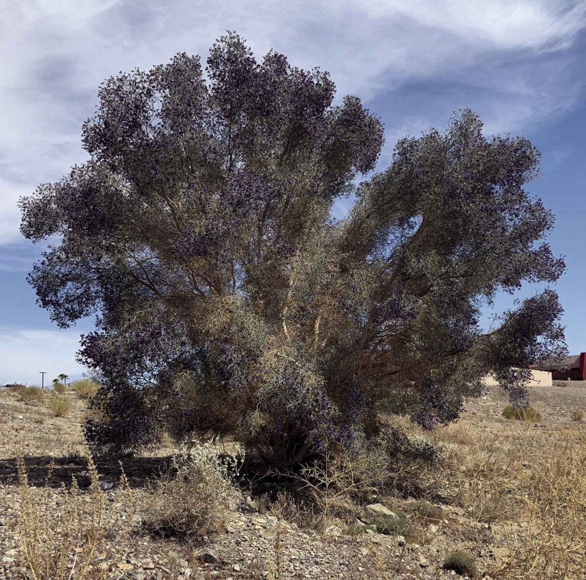 smoketree overgrown.jpg