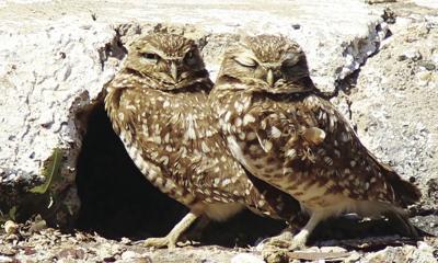 Endangered owls move into Havasu business