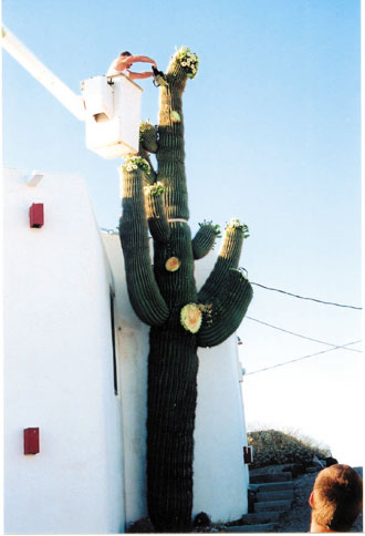 24 Foot Saguaro Cactus Cut Down Due To Safety Concerns