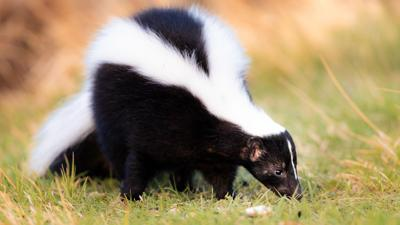 Skunk confirmed rabid in The Woods subdivision