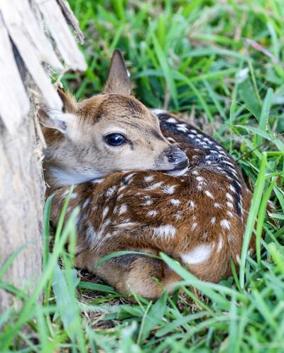 'Abandoned' fawns are almost always  'Whitetail day-care'