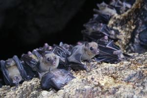 Bat expert to speak Nov. 17 to Naturalists