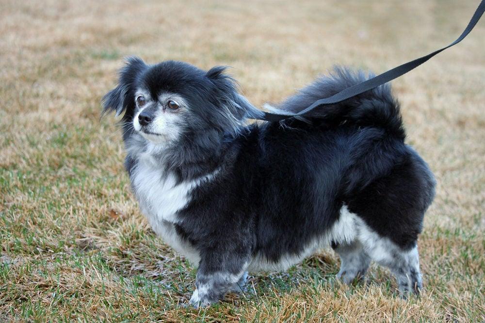 14 year old Pomeranian/Chihuahua image 1