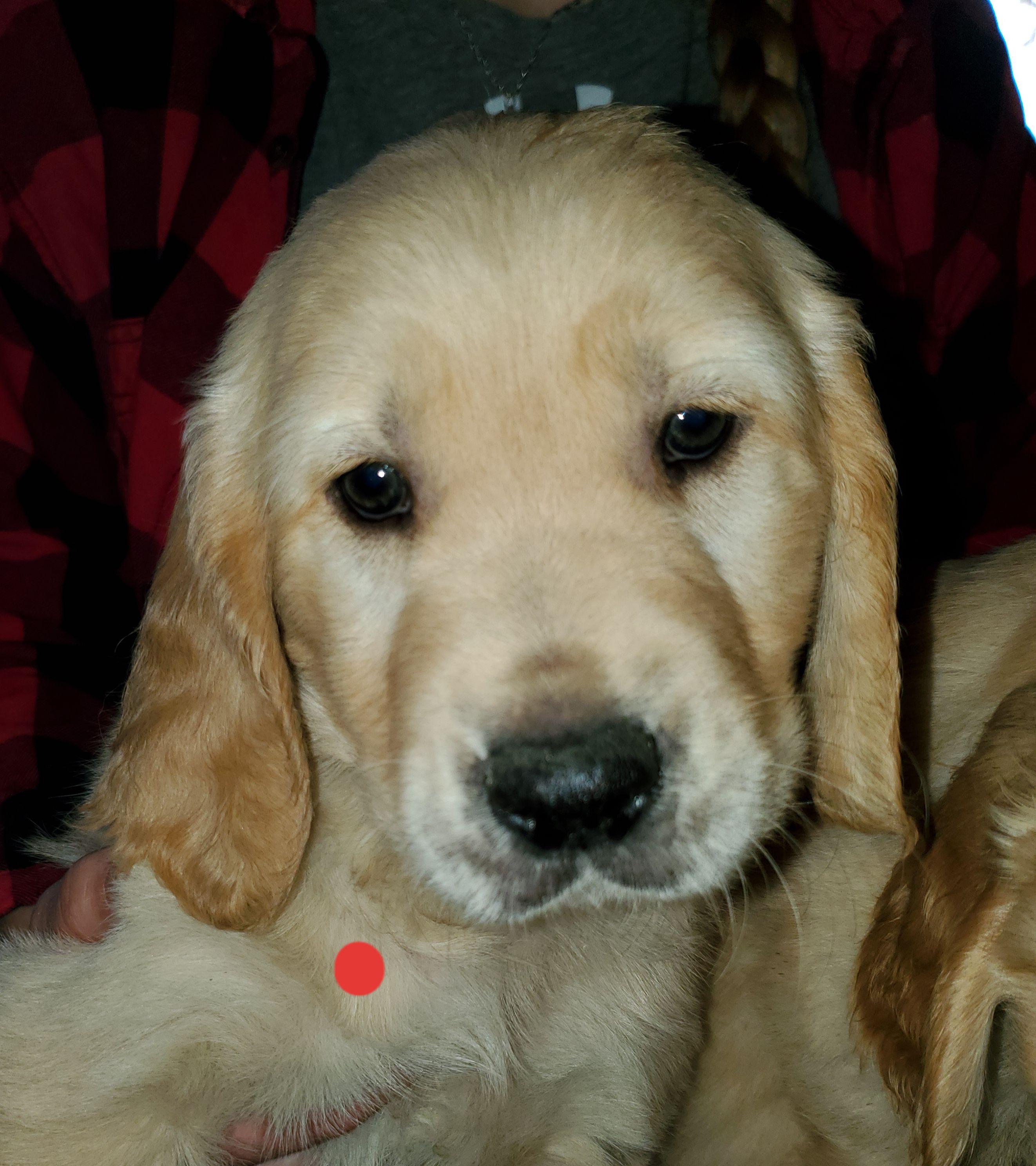 Golden Retriever Puppies image 1