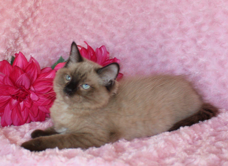 Tica Mink Ragdoll Kittens image 1