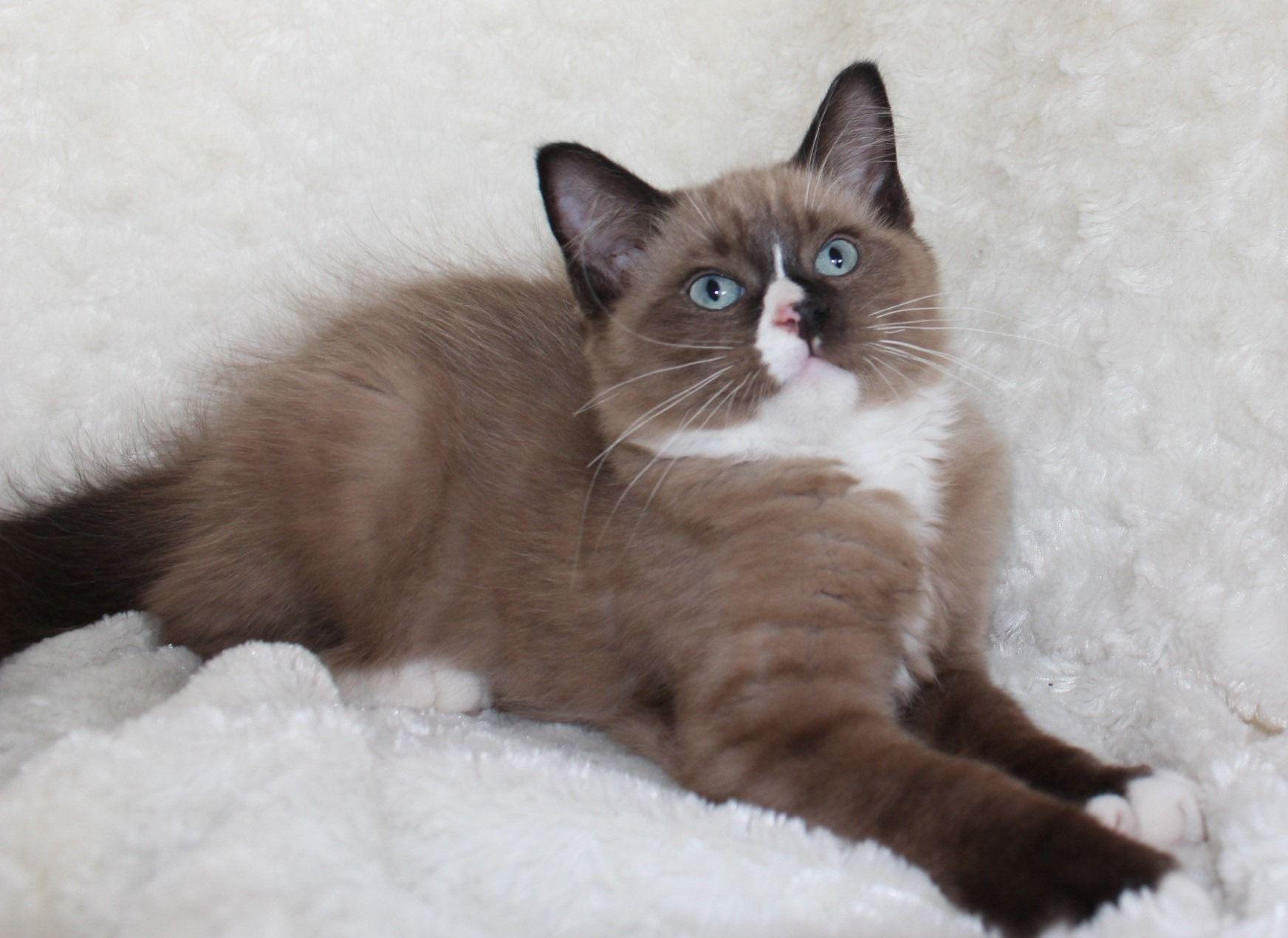 Tica Mink Ragdoll Kittens image 2