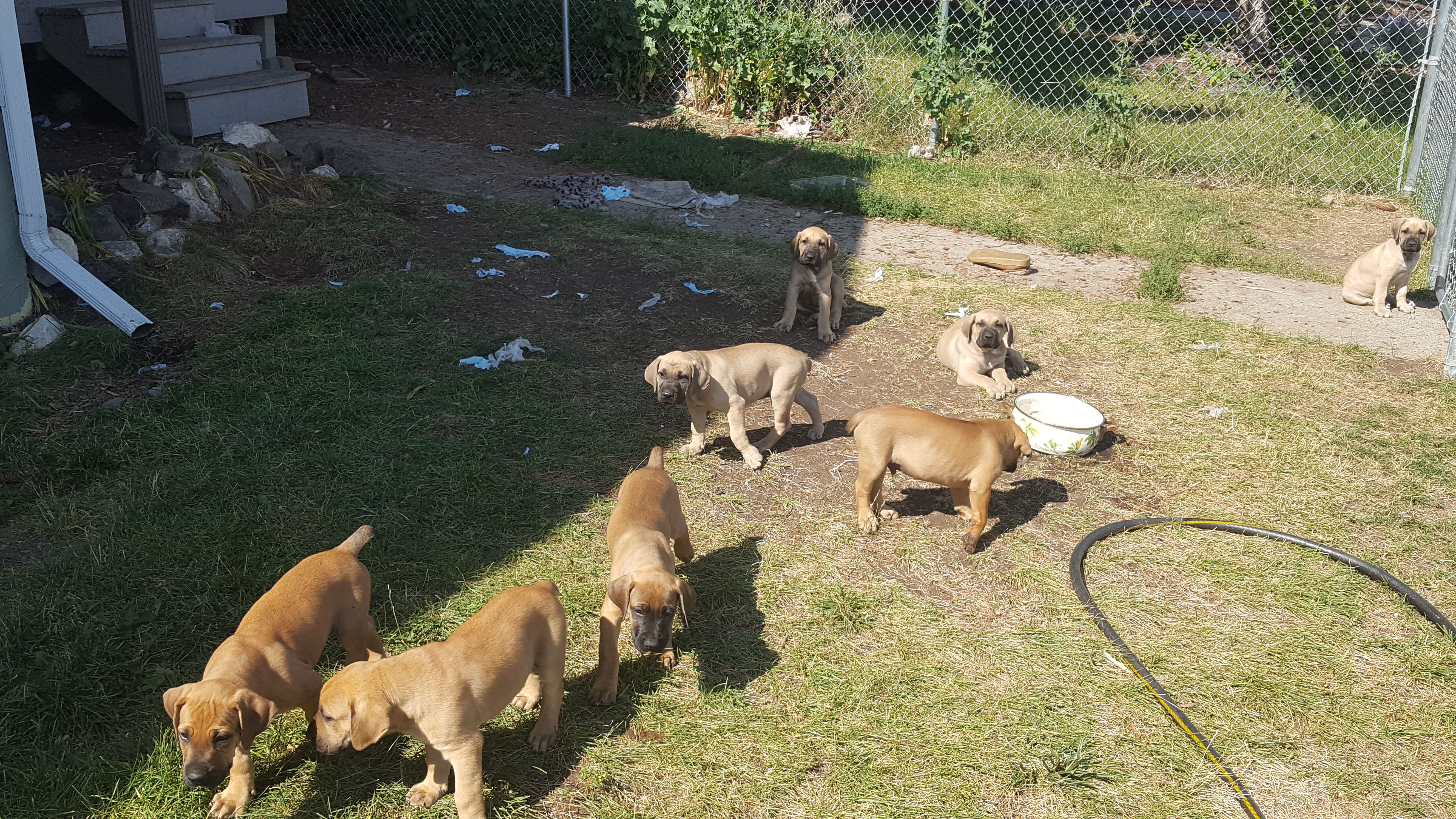 Bandog Puppies For Sale