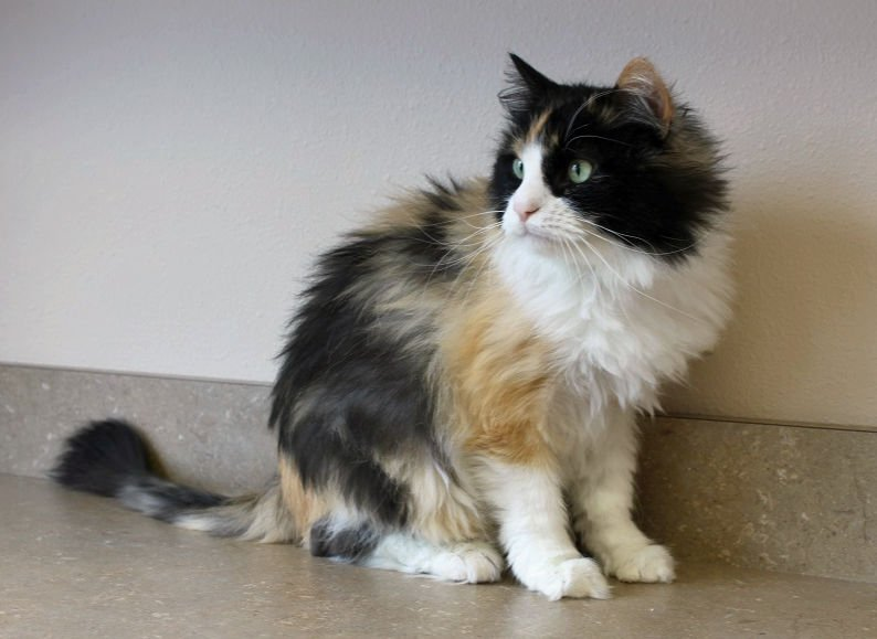 Long-haired female cat image 1
